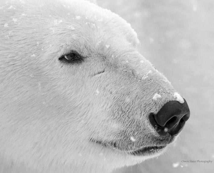Polar Bear Head BW WM