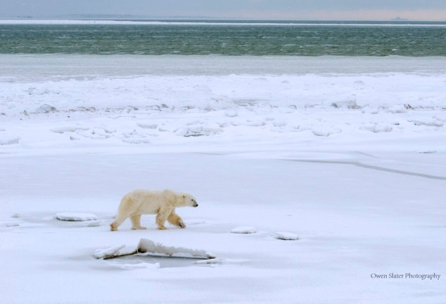 Polar bear ice hudson bay WM