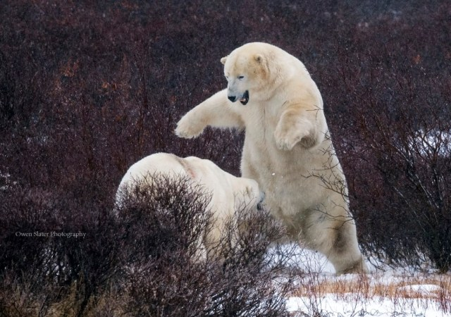 Pouncing polar bear C WM