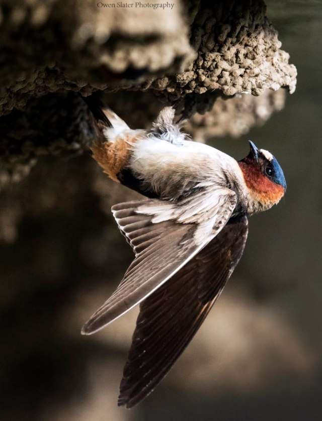 Cliff swallow wings WM