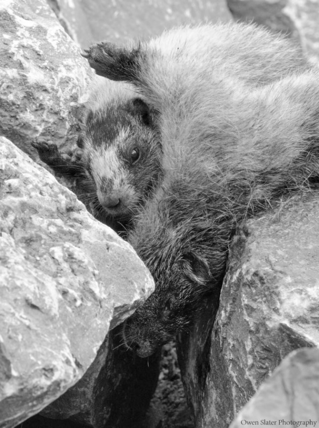 Marmot kit in arms of dead marmot BW WM