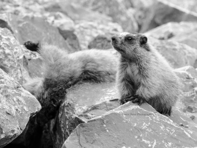 Mourning marmot 2 BW WM