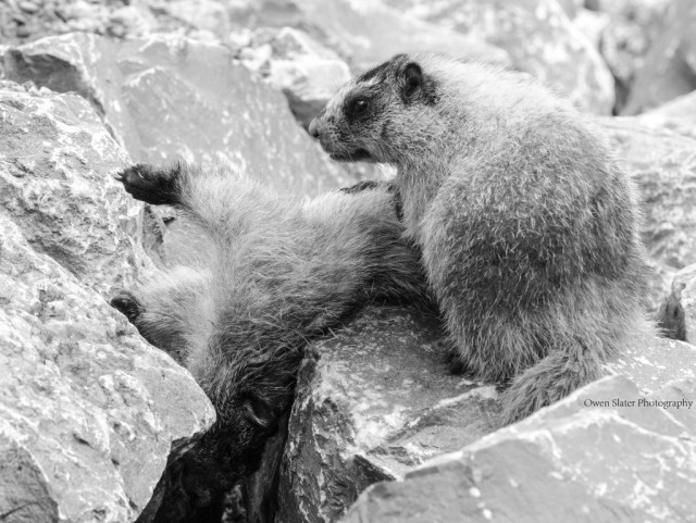 Mourning marmot BW WM