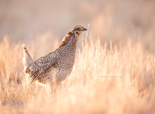 Sharp tailed grouse throat display WM