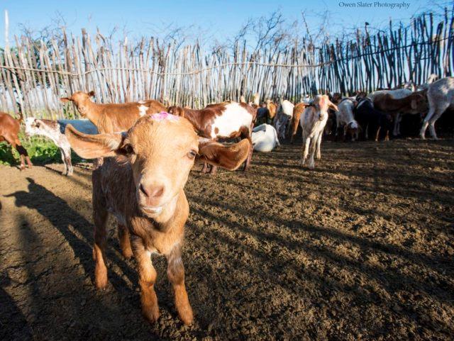 Goat Boma Study Large WM