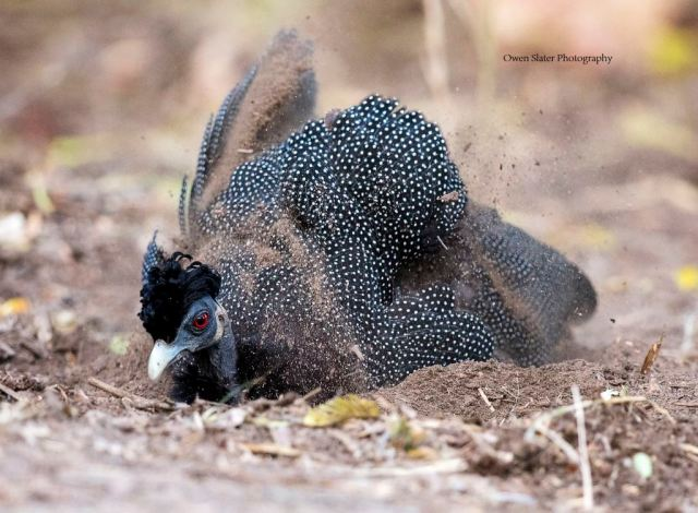 creasted-guineafowl-dustbath-wm