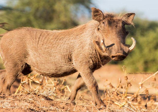 warthog-strut-wm
