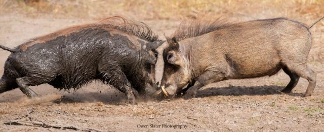warthog-tusking-1-wm