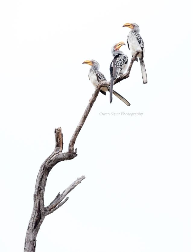 hornbill-art-2-wm