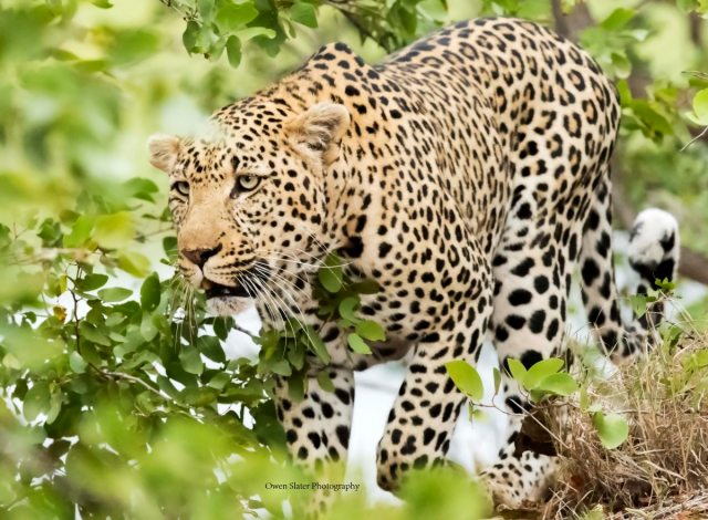 leopard-stalking-wm