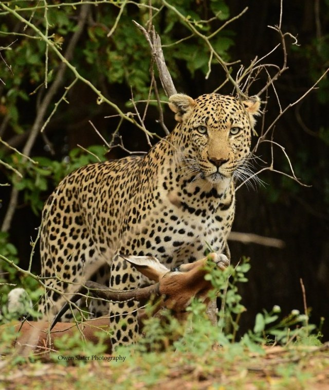 leopard-with-impala-wm