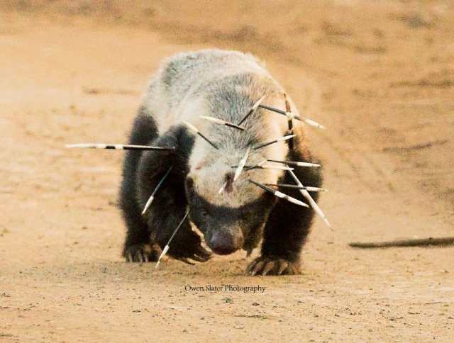 https://owenslaterphotography.files.wordpress.com/2016/12/honey-badger-17-quills-wm-e1528575291430.jpg?w=640